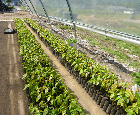 Rows of cacao tree seedlings protected from the torrential jungle rains.